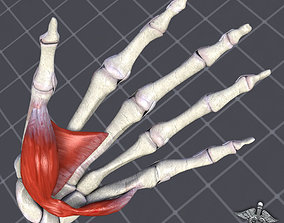 3D Human Hand Bone and Muscle Structure