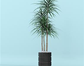 plant Dracena 3D model