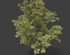 3D Beech Deciduous Tree