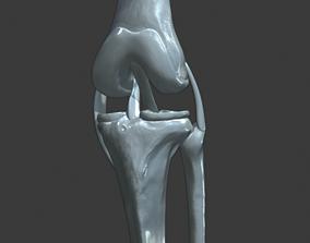 Knee ligaments model human