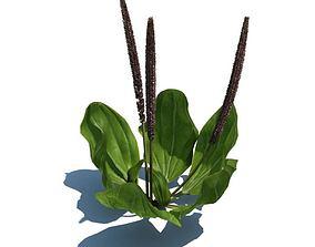 Green Potted Plantago Maior 3D model