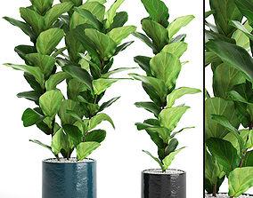 3D realistic Ficus Lyrata Trees