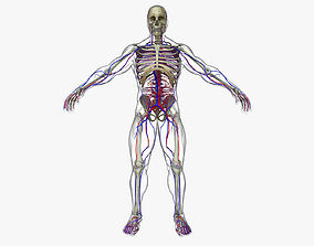 Circulatory System with Skeleton 3D