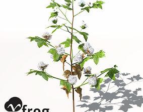 3D model XfrogPlants Cotton