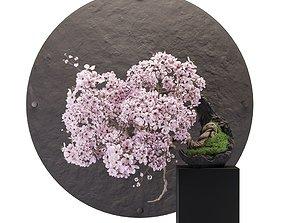 Bonsai sakura 3D asset