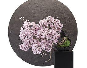 Bonsai sakura 3D model