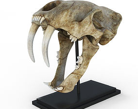 3D model Saber tooth tiger skull
