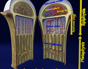 Bone epiphysis ossification detailed labelled anatomy 3D