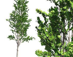 Mountain Maple Tree 3D asset