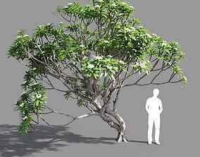 3D model Plumeria