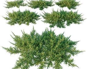 Juniperus sabina Scandia juniper 3D
