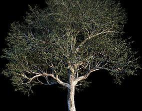 3D model Quercus - Coast Live Oak 01