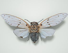 Cicada Ayuthaia Spectabile Thailand Insect 3D model