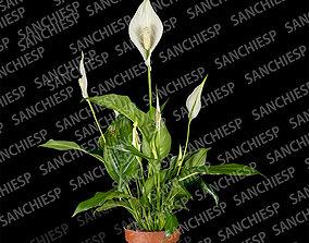 3D model textures Spathiphyllum