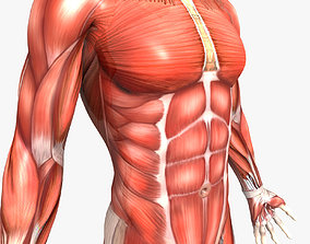 3D Rigged - Human Male Muscular System
