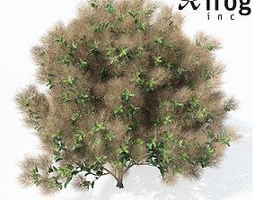 XfrogPlants European Smoketree 3D