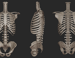Human Skeletal Torso High Poly 3D model