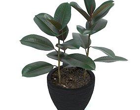 3D Ficus elastica garden