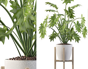 Philodendron xanadu in white pot 3D