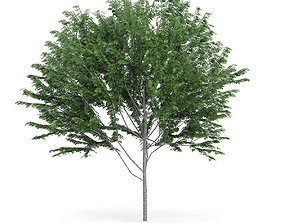 Common Ash Fraxinus excelsior 14m 3D model