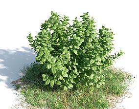 Ficus microcarpa 23 am154 3D