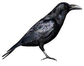 Raven 3D asset rigged
