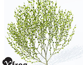 XFrogPlants Pussy Willow 3D
