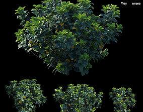 Gardenia angustifolia merr 3D