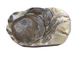 Tumidocarinus giganteus CRAB FOSSIL 3D model