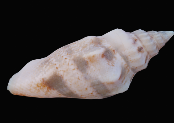 Juvenile Sea Shell