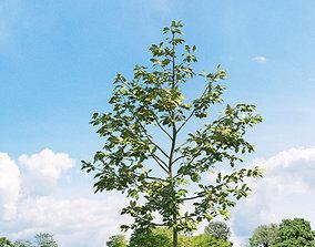 3D model Quercus shumardii 019 v2 AM136