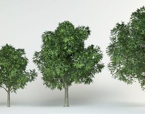Red oak Quercus rubra set 3D