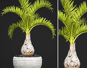 3D model Palm Hyophorbe