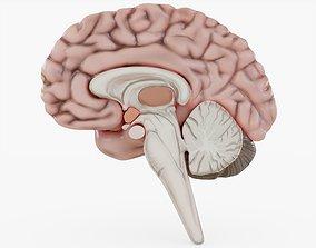 3D model Human Brain Visualization