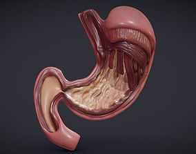 3D asset low-poly Stomach Cross Section