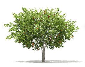 3D model European Rowan Sorbus aucuparia 4m 2