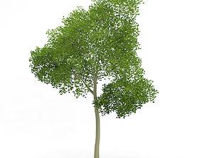 3D model Common Beech Fagus sylvatica 16m