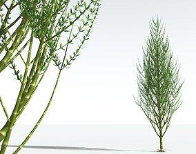 EVERYPlant Ridged Horsetail Tree 07 --12