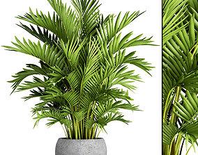 3D Howea Forsteriana Palm 3