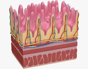 3D Small Intestine Microscopic Anatomy