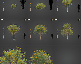 2021 PBR True Mulga Collection - Acacia Aneura 3D model