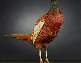 3D model Pheasant Photorealistic Posed 1