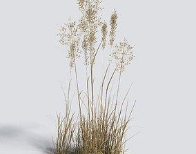 Dry Bent Grass Agrostis Capillaris 3D