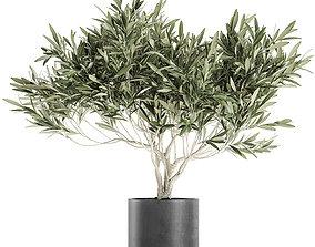 Decorative olive tree in a black flowerpots 732 3D