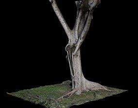 3d 3D model Ficus