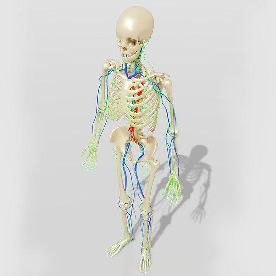 Lymphatic System Human