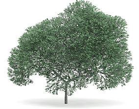 3D model English Oak Quercus robur 9m
