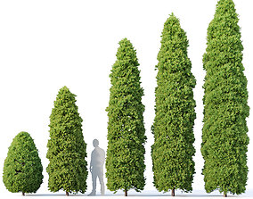 Golden oriental arborvitae Nr1 Five sizes 2-6m 3D model