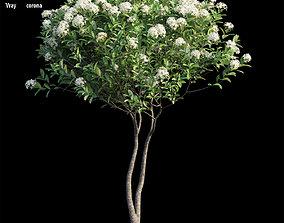 3D model ixora plant set 26