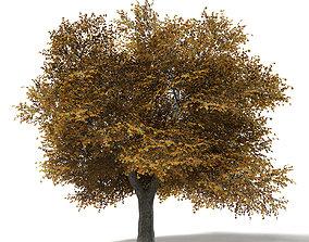 Field Maple 3D Model 10m leaf